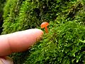 2014-01-21 Hygrocybe miniata (Fr.) P. Kumm 399863.jpg