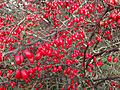2014-12-30 11 31 34 Barberry fruit along River Road (New Jersey Route 175) in Ewing, New Jersey.JPG