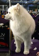 2014 Westminster Kennel Club Dog Show (12486877974).jpg