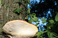 20150711 Fomitopsis pinicola 8407.jpg