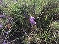 2017-07-02 Lavender 02.jpg