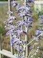 20170719Perovskia atriplicifolia1.jpg