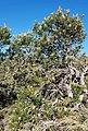 2018-01-31 171508 Banksia Attenuata, Nambung National Park, West Australia anagoria.jpg