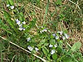 2018-04-09 (109) Veronica persica (birdeye speedwell) at Bichlhäusl at Haltgraben in Frankenfels.jpg