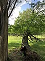 2019-05-26 16 56 58 A Cherry tree broken during a storm, with all the lower leaves having been eaten by deer, along a walking path in the Franklin Glen section of Chantilly, Fairfax County, Virginia.jpg