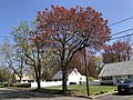 2020-04-19 11 13 29 Red Maple heavily laden with immature seeds along Aaron Avenue in the Parkway Village section of Ewing Township, Mercer County, New Jersey.jpg