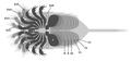 20201122 Offacolus kingi ventral appendages.png