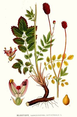 296 Sanguisorba officinalis.jpg