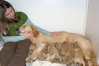 Goldendoodle - Golden retriever and her litter of goldendoodle puppies, after having mated with a poodle.