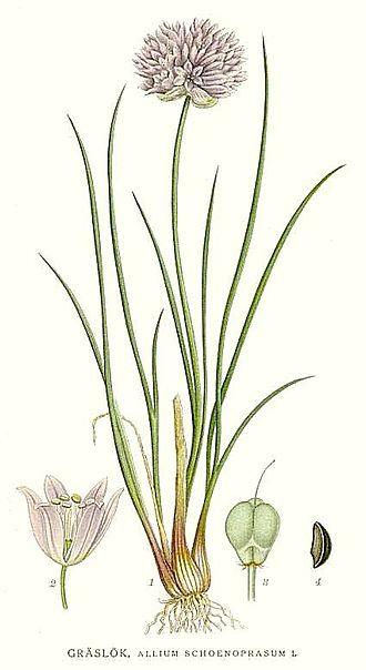 Chives - Image: 386 Allium schoenoprasum