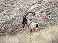 7 Bezoar Goat.jpg