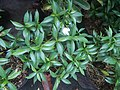 9639Ornamental plants in the Philippines 11.jpg