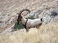 9 Bezoar Goat.jpg