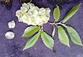 AZ0004 Ulmus x hollandica. Edinburgh, Buckingham Terrace. Samarae and new leaves.jpg