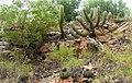 A Caatinga 2.jpg
