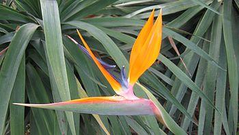 A Strelitzia reginae.jpg