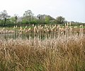 A barrier of bull rushes - geograph.org.uk - 1254972.jpg