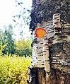 A birch.jpg