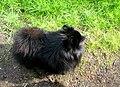 A black dog.JPG