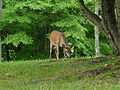A deer in David Crockett State Park (June 2005).jpg