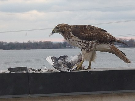 A hawk eats a rock pigeon, near Toronto harbour A hawk eats a pigeon, near Toronto harbour.jpg