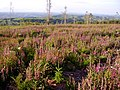 A lovely showing of foxgloves - geograph.org.uk - 1360747.jpg