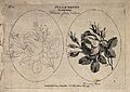 A provence rose; two flowering stems, one in outline only. E Wellcome V0044172.jpg