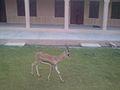 A small Deer.jpg