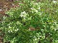 Abelia chinensis var. ionandra 2.JPG
