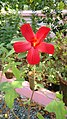Abelmoschus moschatus, annual hibiscus, kasturi-venta.jpg