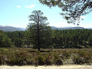 Abernethy Forest forest in Highland, Scotland, UK