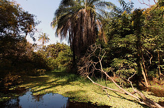 Abuko Nature Reserve - Example of the reserve's flora, including oil palms