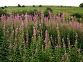 Abundant Trackside Rose-bay Willow Herb - geograph.org.uk - 910214.jpg