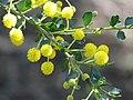 Acacia dictyoneura 9478.jpg