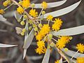 Acacia georginae flowers close up.jpg