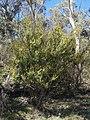 Acacia siculiformis (37788017306).jpg