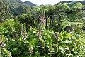 Acanthus mollis kz4.jpg