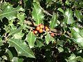 Acebo - Ilex Aquifolium.jpg