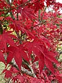 Acer palmatum 'Atropurpureum'.jpeg
