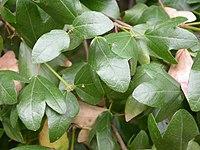 Acer sempervirens leaves