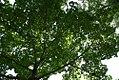 Acer truncatum 1zz.jpg