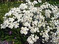 Achillea ageratifolia 3.jpg