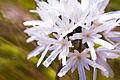 Achyrachaena mollis seeds.jpg