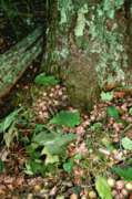Acorns at the base of a Red Oak.png