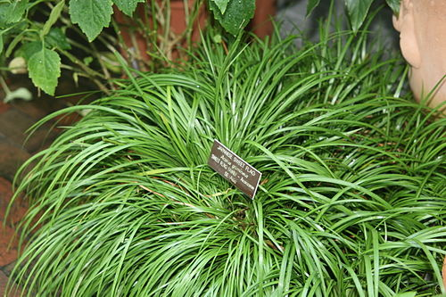 Xylosma flexuosa - Wikiwand