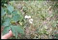 Actaea rubra 2-eheep (5097815848).jpg