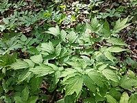 Actaea spicata sl2.jpg