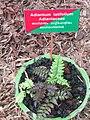 Adiantum latifolium at Periya (1).jpg