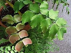 Adiantum macrophyllum a1