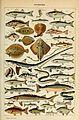 Adolphe Millot poissons-pour tous.jpg